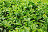 Fresh tea leaves in plantation — Stock Photo