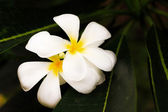 Plumeria,white flower. — Stock Photo