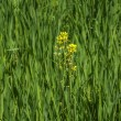 Oil seed rape - Stock Photo