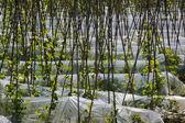 Haricots verts — Photo