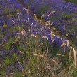 Stock Video: Lavender