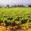 Vineyards — Stock Photo #19875243