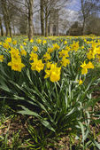 Yellow daffodil wild flowers growing wild in the countryside. — Stock Photo