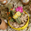 Blooming cactuses — Stock Photo