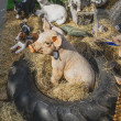 Farm animal sculptures — ストック写真