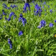Bluebells in wood — Stock Photo #27535341