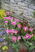 Pink tulips in the garden — Stock Photo
