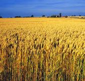 Сельскохозяйственные культуры — Стоковое фото