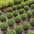 Stock Photo: Coniferous garden plants being sold in plant nursery