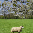 Sheep on green grass — Stock Photo