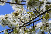 Flowers of a tree of an apricot against the blue sky — Stock Photo