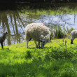 Sheeps family on grass — Stock Photo