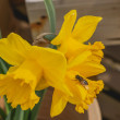 Yellow Spring Daffodil (Narcissus) flowers — Stock Photo