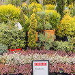 Coniferous garden plants being sold in plant nursery — Stock Photo