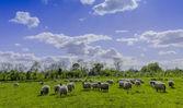 在一个字段中的羊 — 图库照片