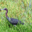 Close up Little blue heron bird eating crawfish - Stock Photo