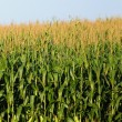 Cornstalks against a blue sky - Stock Photo