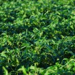 Soybeans growing on a farm - Stock Photo