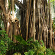 Banyan tree - Stock Photo