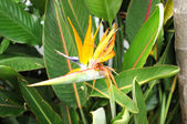 Birds of paradise tropical flower — Stock Photo