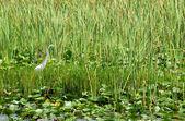 Great Egret (Great White Heron) — Stock Photo