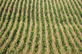 Corn plants on a farm — Stock Photo