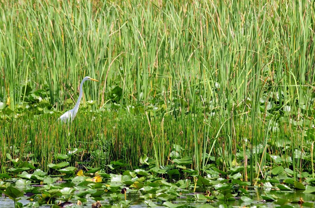 Great Egret (Great White Heron) in natural habitat in florida everglades — Stock Photo #15385291