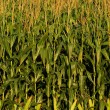 Corn stalks on farm — Foto Stock #19649363