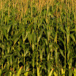 Corn stalks on farm — Stock Photo #19649363