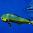 Mahi mahi or dolphin fish — Stock Photo #19717875