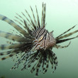 lionfish — Stock Photo