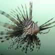 Lionfish — Stock Photo #19718631