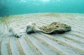 Flounder — Stock Photo
