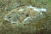 Camoflage flounder underwater — Stock Photo