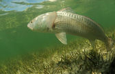 Redfish is swimming in the grass flats ocean — Stock Photo