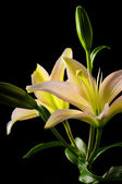 Fleur de lis stargazer blanc — Photo
