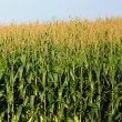 Stock Photo: Minnesotcorn farm