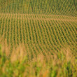 Rows of corn - Foto de Stock