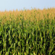 Minnesota corn farm - Stock Photo