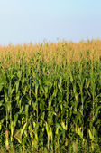 Minnesota corn farm — Stock Photo