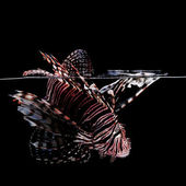 Lionfish on black background — Stock Photo