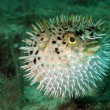 Blowfish or puffer fish in ocean - Stock Photo