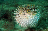 Blowfish or puffer fish in ocean — Stock Photo