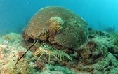 Caribbean spiny lobster in natural habitat — Stock Photo