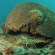 Caribbean spiny lobster and brain coral — Photo