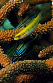Tropical fish with staghorn coral — Stock Photo
