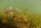 Kungsfisk i oceanen jagar lure — Stockfoto