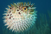 Blowfish or diodon holocanthus underwater in ocean — Stockfoto