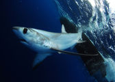Bigeye Thresher shark — Stock Photo