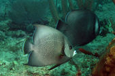 Two gray angelfish swimming in ocean — Stock Photo